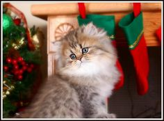 Teacup Persian Kitten. I want you in my life.