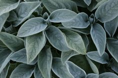 byzantina Big Ears  (lammeøre)       Blomstring: næsten ingen  Højde: 25 cm  Lysforhold: sol