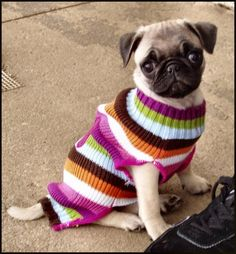 bahhumpug:  epicpugs:  My new sweater  They say I'll grow into it some day.  Aww! Nothing like a puppy to make me smile!
