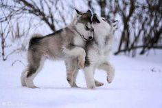 Siberian Husky puppies...so. cute. it hurts.