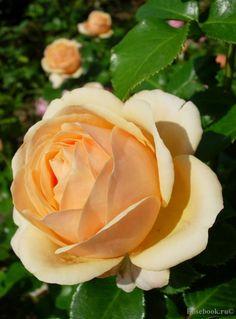 Yours in Continued Friendship | Floribunda Rose