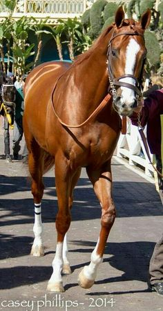 CALIFORNIA CHROME - 2014 Kentucky Derby and Preakness Stakes winner. Two down, one to go!