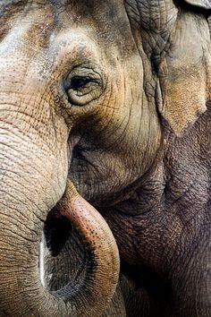 Elephant by Jesse Soll on Elephants Never Forget, Save The Elephants, Beautiful Creatures, Animals Beautiful, Cute Animals, Wild Animals, Asian Elephant, Elephant Love, Animal 2