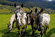 Appaloosa Horses on alp by dellafels, via Flickr