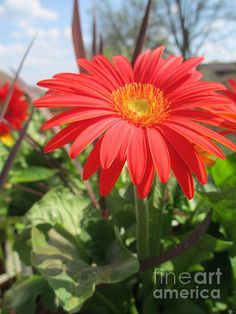 """Gerbera Daisy"" by #Kay Novy #flower #Gerbera daisy  http://kay-novy.artistwebsites.com/featured/gerbera-daisy-kay-novy.html"
