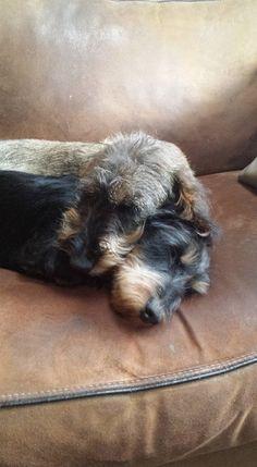 Sweet love❣️ wire-haired dachshund