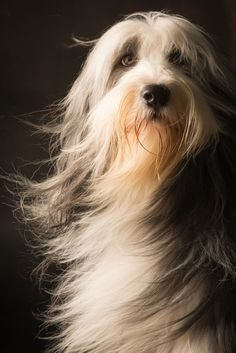 beautiful long-haired dog