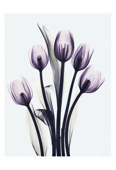 Art Print: Essentially Tulips by Albert Koetsier : Inspiration Tattoos, Xray Flower, Flower Art, Tulip Tattoo, Deco Nature, Arte Floral, Pretty Pictures, Tulips, Beautiful Flowers