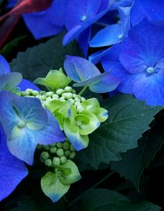 blue hydrangea and lime