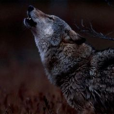 FEEL AND HEAR PURE LONSOME Cute Funny Animals, Cute Baby Animals, Animals And Pets, Wolf Photos, Wolf Pictures, Wolf Images, Beautiful Wolves, Animals Beautiful, Wolf Artwork