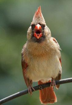 Pretty Birds, Love Birds, Beautiful Birds, Animals Beautiful, Nature Animals, Animals And Pets, Bird Pictures, Cardinal Pictures, Cardinal Birds