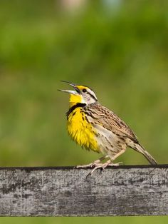 Foto pedro-ceroulo (Sturnella magna) por Marcelo Camacho | Wiki Aves - A Enciclopédia das Aves do Brasil