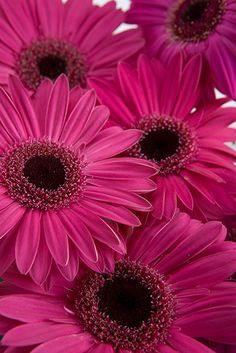 The vibrant color and perky personality of Gerbera daisies makes them an ideal choice for any special occasion – from black tie formal to garden party casu