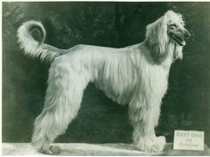 Afghan Hound facts including: history training/temperament and breed colors and markings. Hound Dog Breeds, Akc Breeds, Dog Lover Gifts, Dog Lovers, The Perfect Dog, Afghan Hound, Vintage Dog, Wild Dogs, Dogs Of The World