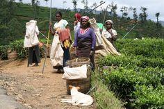 Hardwerkende vrouwen op een theepantage in de omgeving van Nuwara Eliya