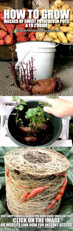 Hydroponic Gardening Ideas How to Grow Masses of Sweet Potatoes in Pots A to Z Guide Indoor Vegetable Gardening, Veg Garden, Organic Gardening Tips, Hydroponic Gardening, Edible Garden, Gardening Apron, Garden Edging, Growing Veggies, Growing Plants