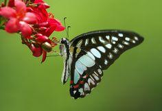 Graphium Doson Butterfly feeding on Peregrina Flower. Wings of the Tropics, Fairchild Tropical Botanic Garden.