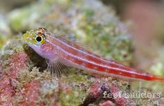 Helcogramma is another poorly known nano fish bursting with reef aquarium potential