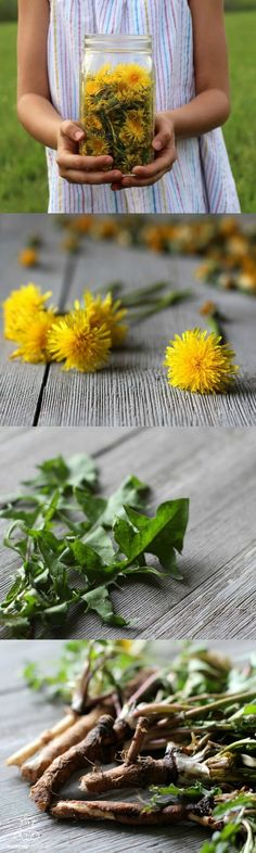 """Dandelion is a generous plant in that every part of it can be used as food or medicine,"" writes Rosalee de la Forêt in her gorgeous new book, Alchemy of Herbs. And it's true. Dandelion flowers, roots and leaves can be made into salads, teas, decoctions, tinctures, syrups, wines, skin healing salves and more. Here's an overview of how to use them."