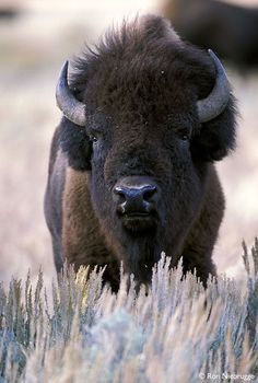 "On I-70 west from Denver, before you reach the Hwy 40 exit towards Grand County, you may have the chance to see these magnificent beasts roaming at the ""Buffalo Herd Overlook"".  The herd is maintained by the City and County of Denver, as it has been for many years."