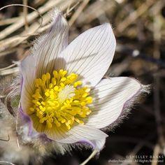 Prairie Wildflowers: Prairie Crocus Flowers Near Regina, Saskatchewan