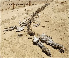 "Today, Wādī al-Ḥītān (the Valley of Whales) is in the middle of western egyptian desert, but once it was covered by the sea and was the home of this ""crocodilesque"" ancestor of modern whales, the Basilosaurus: a 49/59 feet long predator with 44 sharp, harpoon-like teeth. When the sea became to dry, whales were simply unable to escape."