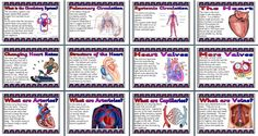 KS2 / KS3 Science teaching resource, The Human Circulation System printable posters for classroom display
