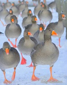 CESPINS❤The goose army by Helgi Skulason / Icelandic photoguide on Flickr.