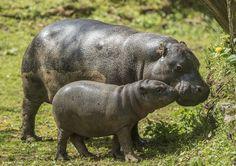 Ziama, petite hippopotame pygmée née en novembre 2015, sort désormais dans son parc extérieur en compagnie de sa mère.