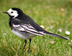 I love Pied Wagtails - joint favourite alongside collared doves