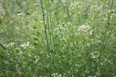 Už v detstve ma učili, že kapsička pastierska sa dá normálne jesť ... tak ako ďatelina ... Nordic Interior, Korn, Herbs, Plants, Gardening, Fitness, Lawn And Garden, Herb, Plant
