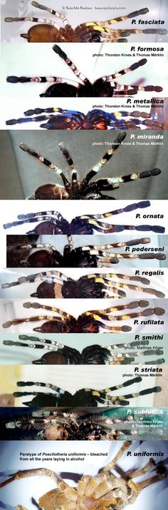 A newbie guide to Poecilotheria – Reptile Forums - World of Animals Mundo Animal, My Animal, Beautiful Creatures, Animals Beautiful, Tarantula Enclosure, Pet Spider, Itsy Bitsy Spider, Serpent, Reptiles And Amphibians