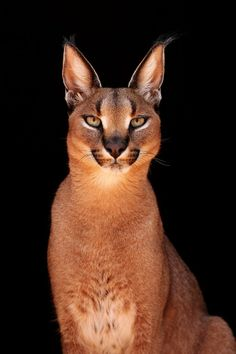 Caracal at Cheetah Experience, Bloemfontein, Africa - animals - Cats Big Cats, Crazy Cats, Cool Cats, Cats And Kittens, Small Wild Cats, Cats Bus, Beautiful Cats, Animals Beautiful, Animals Amazing