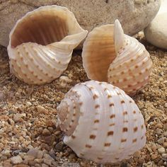 Spotted Tun Shell | Tonna Dolium Tessellata | Beach Shells - buy the sea