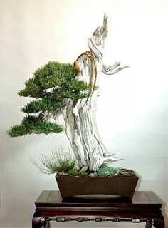Rosmarinus officinalis: Sandro Segneri bonsai design www. Bonsai Art, Bonsai Plants, Bonsai Garden, Bonsai Trees, Mini Plantas, Juniper Bonsai, Ikebana Arrangements, Miniature Plants, Small Trees