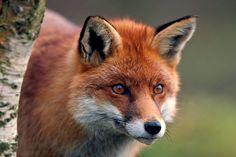 Fox portrait   Flickr - Photo Sharing!