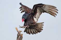How Turkey Vultures Stay Aloft to Focus on Dinner - The New York Times