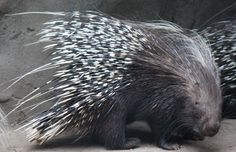 Porcupine at Mexico City Zoo