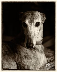 Greyhound... come hither.  A look that cannot be resisted.