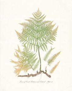 Autumn Fern Vintage Botanical Illustration - Ferns of Britain and Ireland - Plate 21 Natural History Wall Decor Art Print  8x10. $15.00, via Etsy.