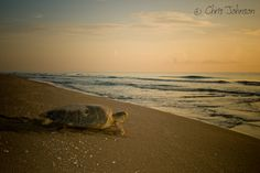 Green sea turtle at sunrise by Turtleimages LLC