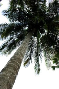 The coconut (Cocos nucifera) is a nut-bearing palm tree that also goes by the common names coco palm and coconut palm. Coconuts provide a sustainable crop in many parts of the world, growing . Florida Gardening, Coconut Health Benefits, Palm Trees, Coconuts, Herbalism, Tropical, Common Names, World, Plants