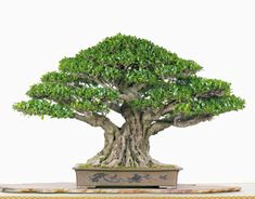 Bonsai Tree Care, Bonsai Tree Types, Indoor Bonsai Tree, Bonsai Art, Bonsai Trees, Bonsai Soil, Bonsai Garden, Conifer Trees, Deciduous Trees