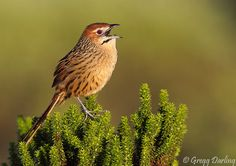 Cape Grassbird (Sphenoeacus afer) or Cape grass warbler is an African warbler found in southern Africa. Greggs, Bird Feathers, Beautiful Birds, Animal Kingdom, Awesome, Amazing, Colonial, South Africa, Wildlife