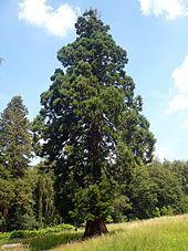 Mammutbäume gibt es auch in Deutschland, diese stehen in der Nähe von Schotten/Hessen (Vogelsberg)