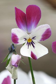 Garden pansy - Flickr - Photo Sharing!
