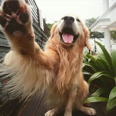 Astonishing Everything You Ever Wanted to Know about Golden Retrievers Ideas. Glorious Everything You Ever Wanted to Know about Golden Retrievers Ideas. Cute Puppies, Cute Dogs, Dogs And Puppies, Doggies, Cavalier King Charles Blenheim, Animals And Pets, Cute Animals, Beach Bodys, Education Canine