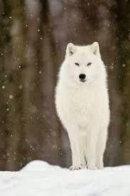 Lobo blanco Wolf