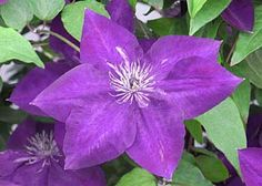 """Amethyst Beauty Clematis Raymond Evison Collection  Amethyst Beauty has light purple 6"""" diameter flowers that mature to purple blue with red anthers produced in great abundance. Flowers early to late summer. Grows to 6-8' at maturity. Canadale Nurseries Ltd."""