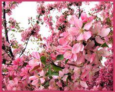 crab tree blossoms